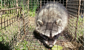 raccoon trapping removal