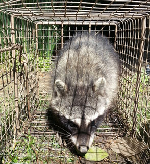 wildlife trapping removal san diego